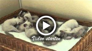 Viele kleine Thaikatzen-Kitten