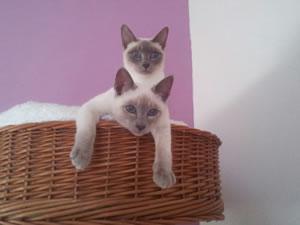 Zwie Thaikatzen der Thaicattery von den Passoa-Cats