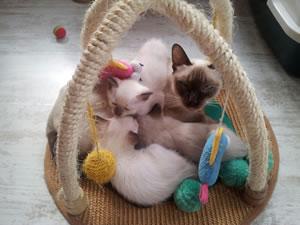 Und noch ein paar Thaikatzen von den Passoa-Cats.