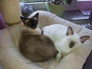 Zwei weitere Thaikatzen von den Passoa-Cats.