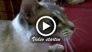 Eine Tonkanese Katze beim schnattern