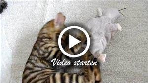 Eine Toyger katze beim spielen