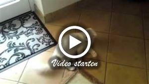 Zwei Türkish Angorakatzen beim spielen