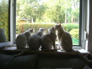 vier Burmillas vor dem Fenster.