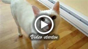 Eine Weiße Siamkatze