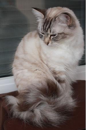 wirklich alles was du ber die ragdoll katze wissen musst. Black Bedroom Furniture Sets. Home Design Ideas