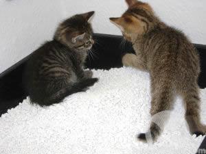 Zwei Kätzchen erkunden ihre Katzentoilette