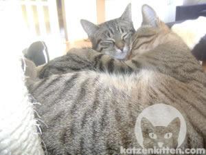 Süße erwachsene Katzen